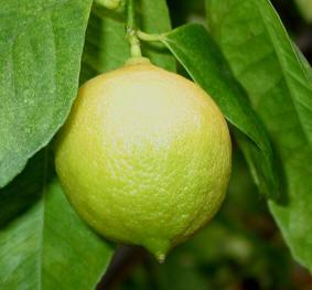 citrus_limon2