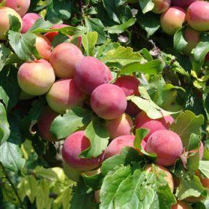 ING-peaches-2_sql